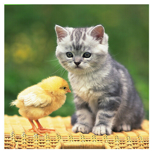 Малко коте и пиле 30/30 см