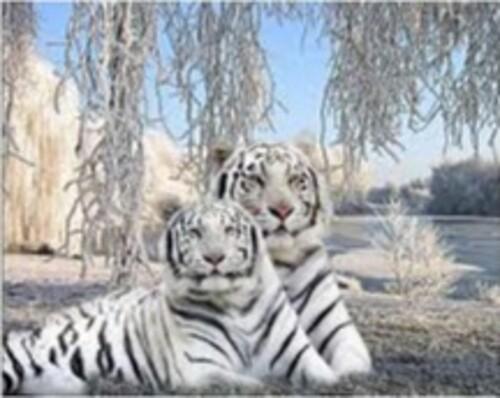 Бели тигри 60/45 см