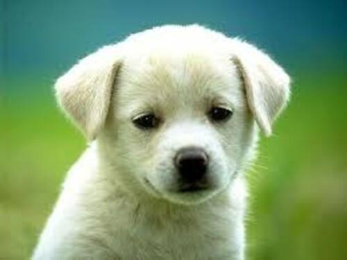 Кученце 30/20 см