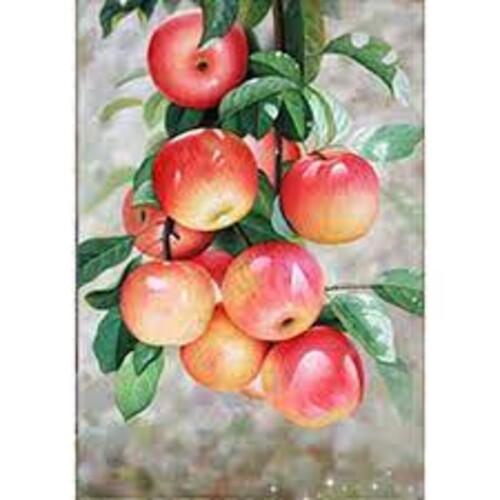 Ябълки 30/40 см