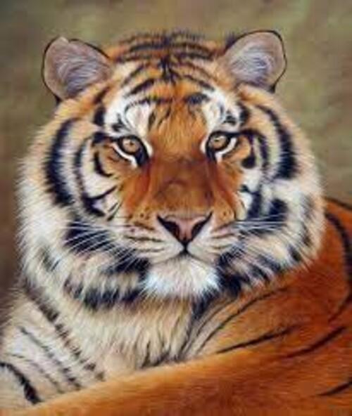 Тигър 30/40 см